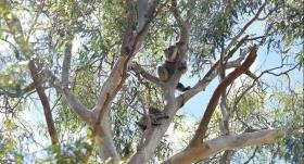 澳洲尤加利精油,呼吸道的守护神