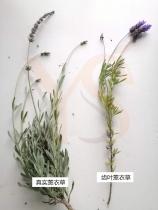 真实薰衣草和高地薰衣草有什么不同?