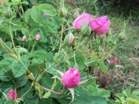 武汉YS大马士革有机红玫瑰纯露纯植物纯露
