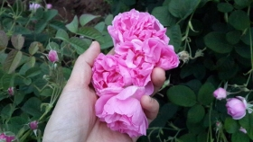 保加利亚大马士革玫瑰精油奥图精油Otto精油供应
