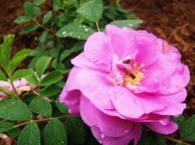 山东奥图玫瑰精油OTTO玫瑰